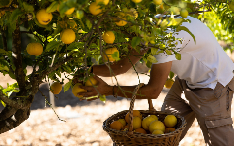 Son Brull lemon harvest